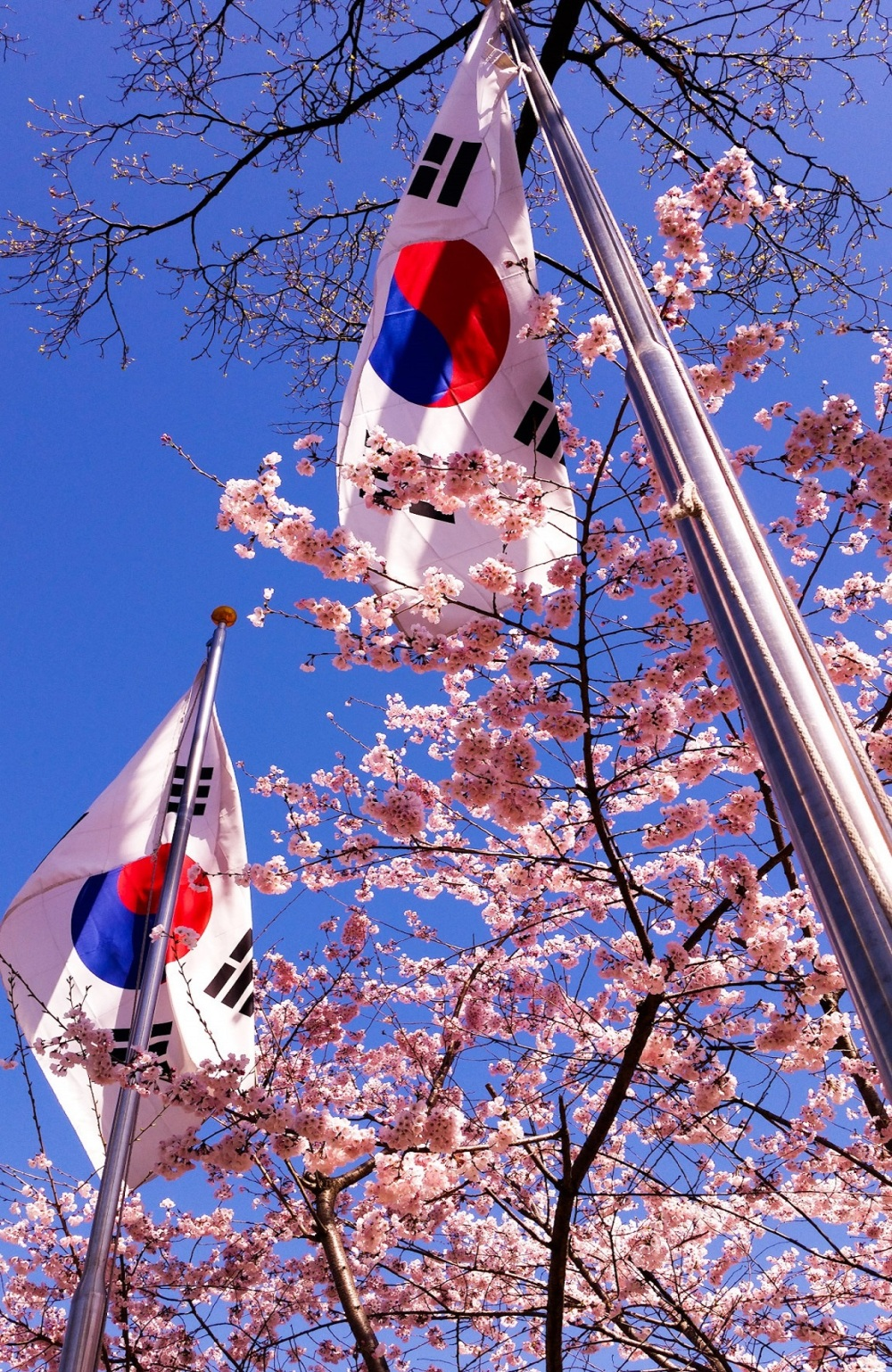 cherryblossomseoulkorea