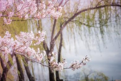 Tokyo, Sakura blossoms