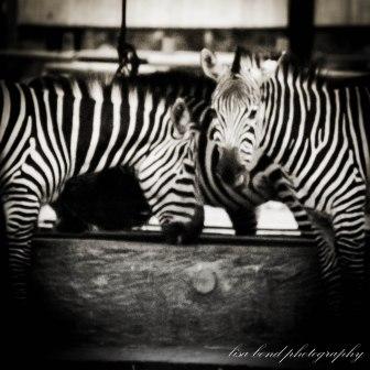 #Zebra #Seoul #Zoo #Korea
