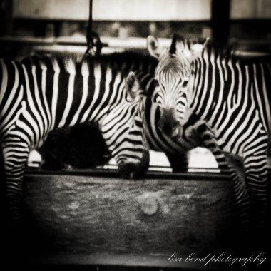 travel photographer, bondgirlphotos, Zebra #Seoul #Zoo #Korea