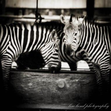travel photographer, bondgirlphotos, Zebra #Seoul #Zoo #Korea