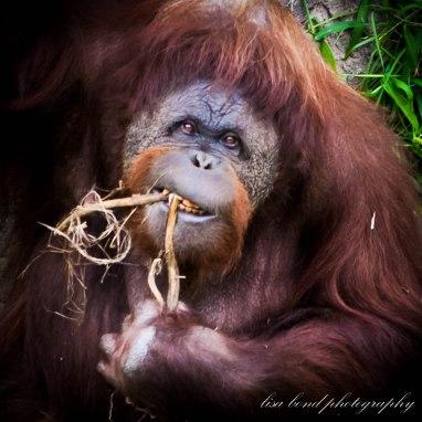 travel photographer, bondgirlphotos, Orangutan,Seoul, zoo, endangered