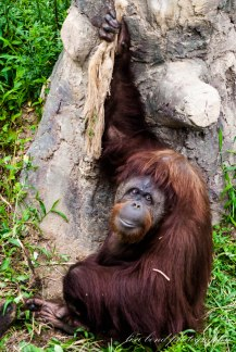 #Orangutan #Seoul #zoo #endangered species