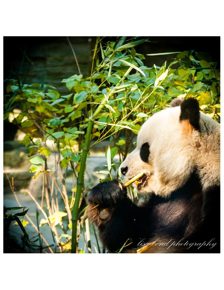 Giant Panda, Beijing, Zoo, China