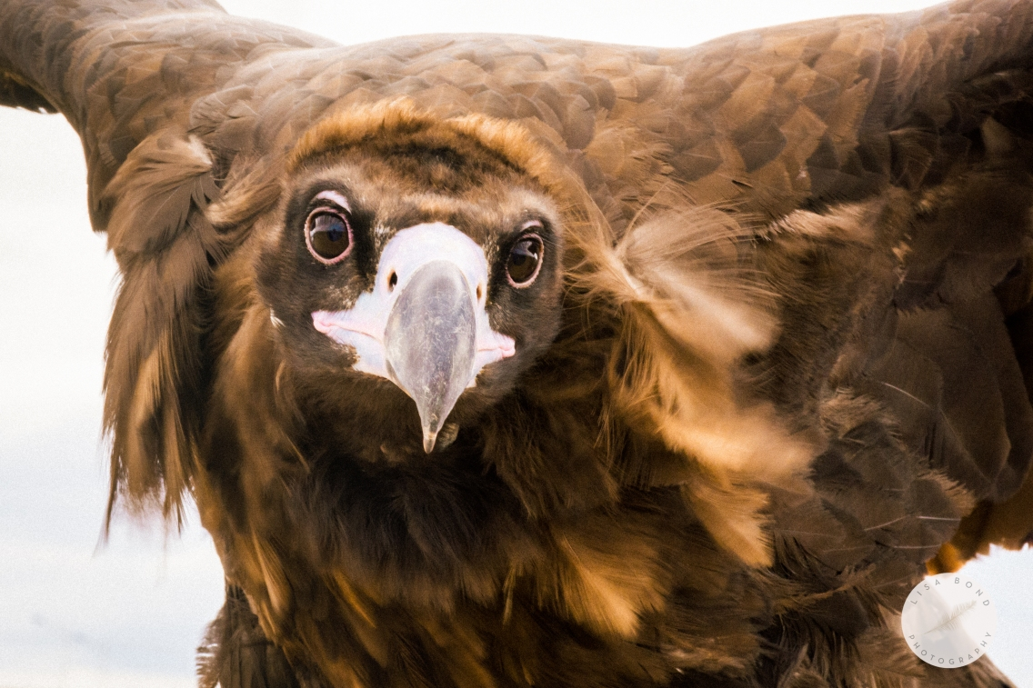 Mongolia Golden Eagle