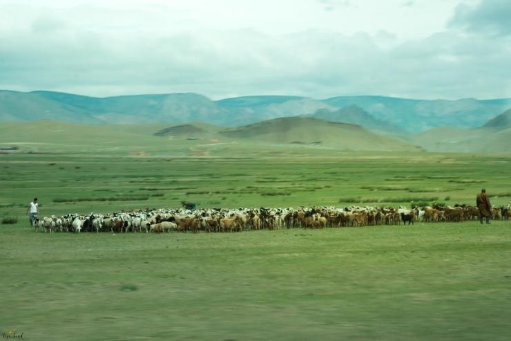 nomadic, herders, sheep, Mongolia
