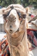 camel, Israle, Holy Land